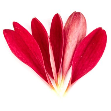 Red chrysanthemum flower petals