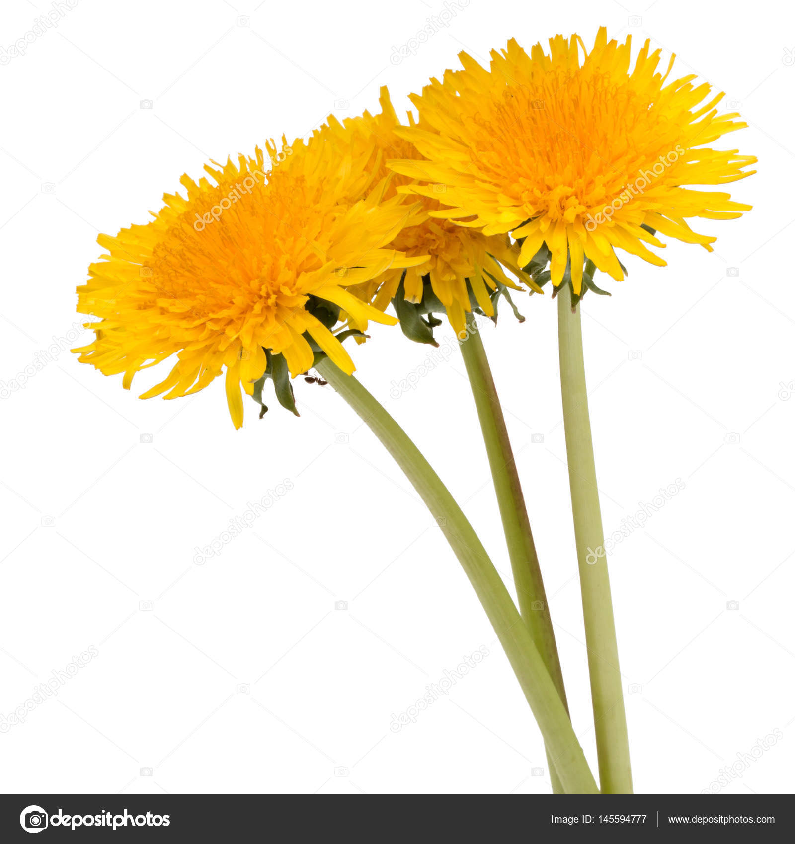 dandelion flower on white background — stock photo © natika #145594777