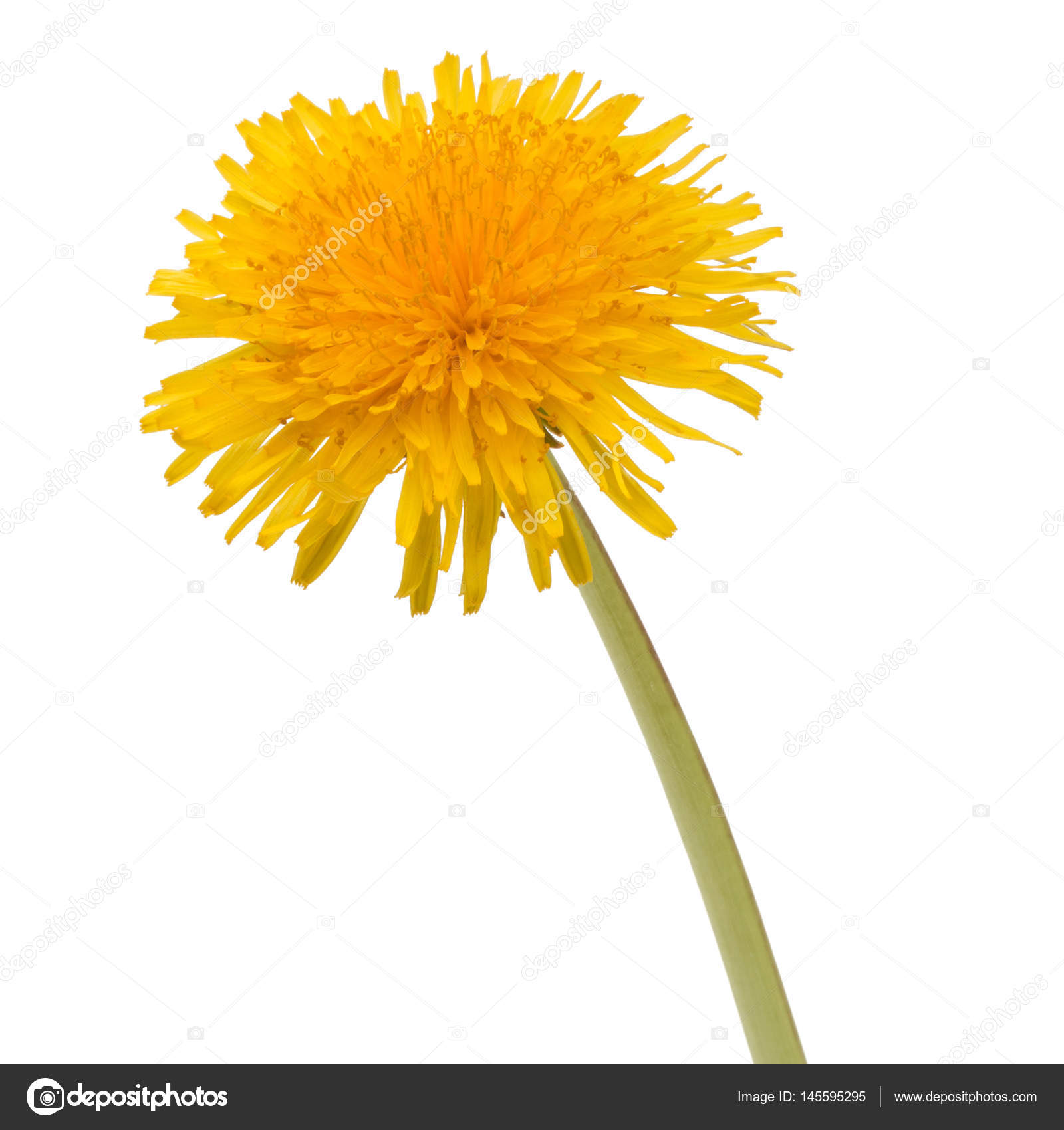 Dandelion flower on white background stock photo natika 145595295 dandelion flower isolated on white background cutout photo by natika mightylinksfo