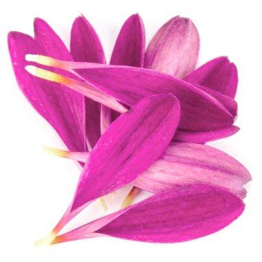 Lilac chrysanthemum flower petals