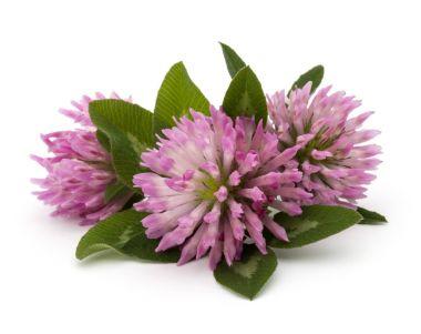 Clover or trefoil flowers