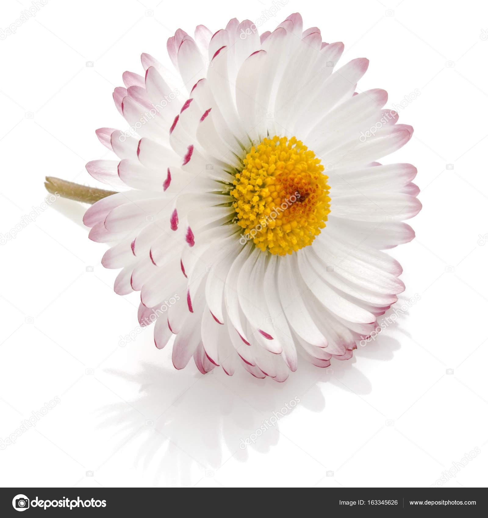 Beautiful Single Daisy Flower Stock Photo Natika 163345626