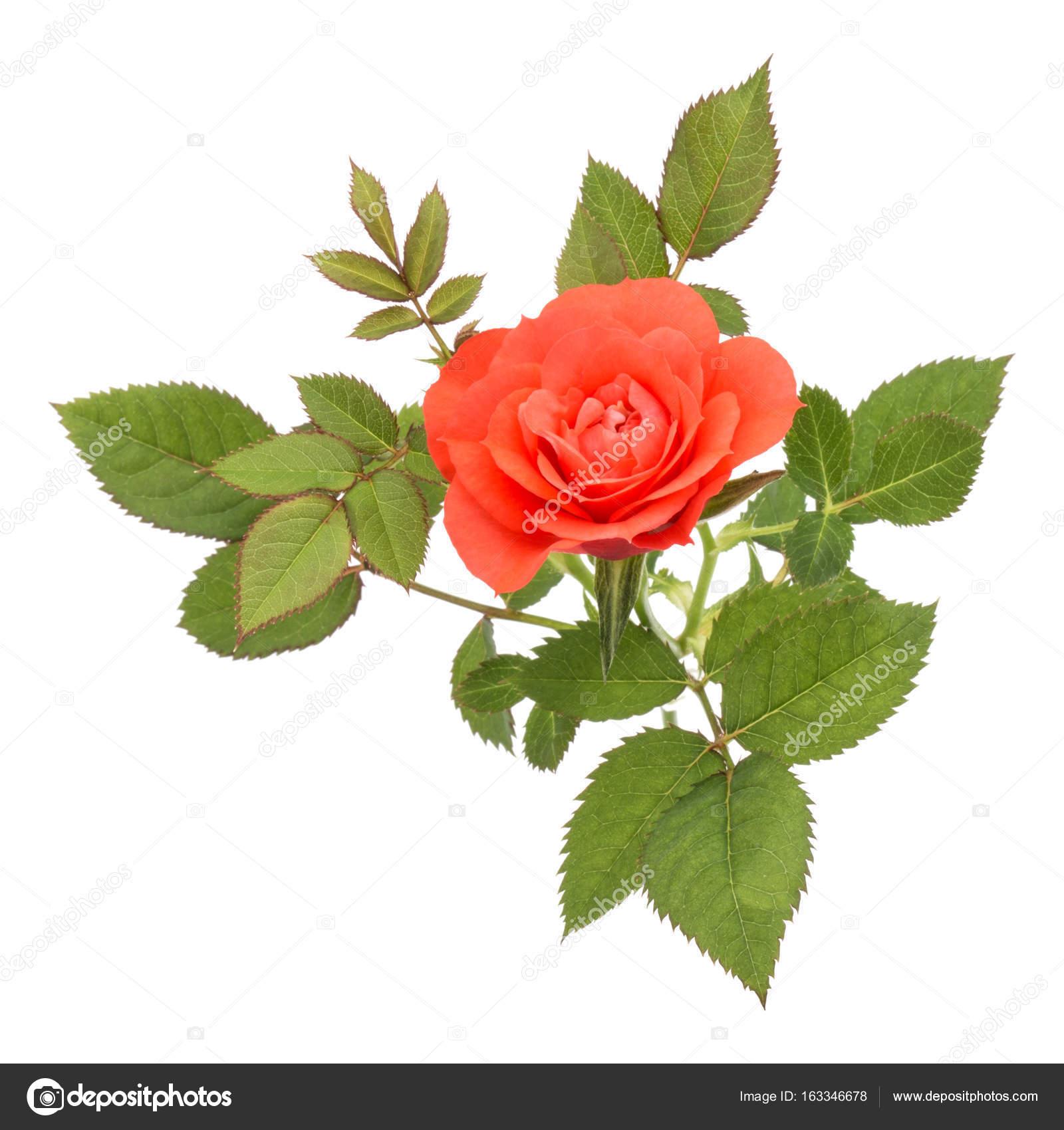 una naranja flor color de rosa con hojas — Foto de stock © natika ...