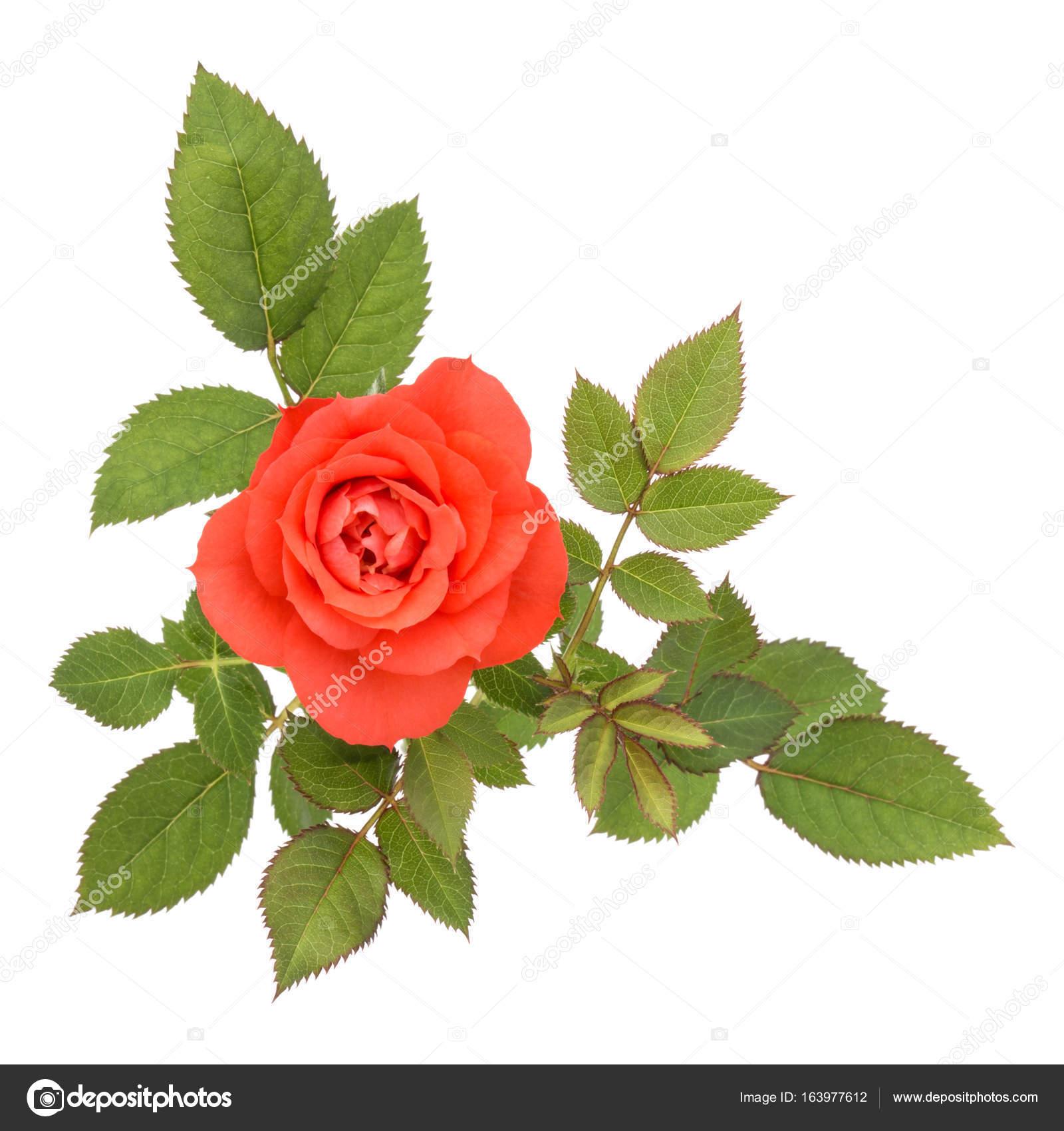 una naranja flor color de rosa con hojas — Fotos de Stock © natika ...