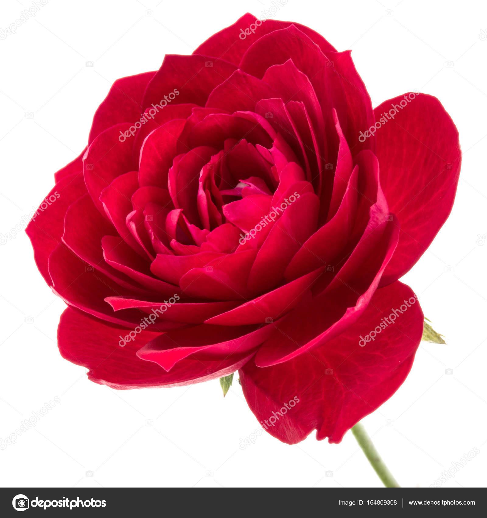 Une Fleur Rose Rouge Photographie Natika C 164809308