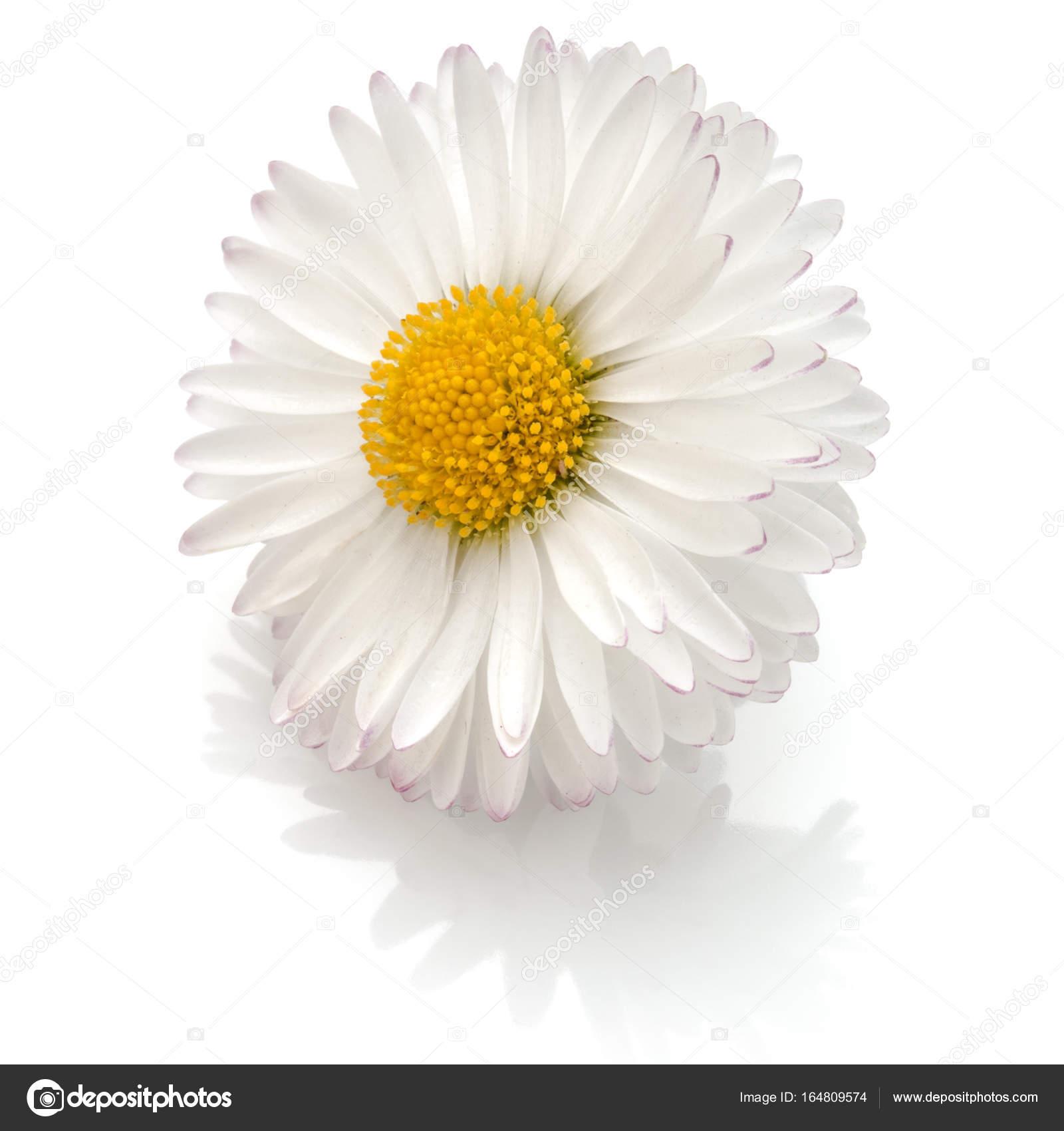 Beautiful Single Daisy Flower Stock Photo Natika 164809574