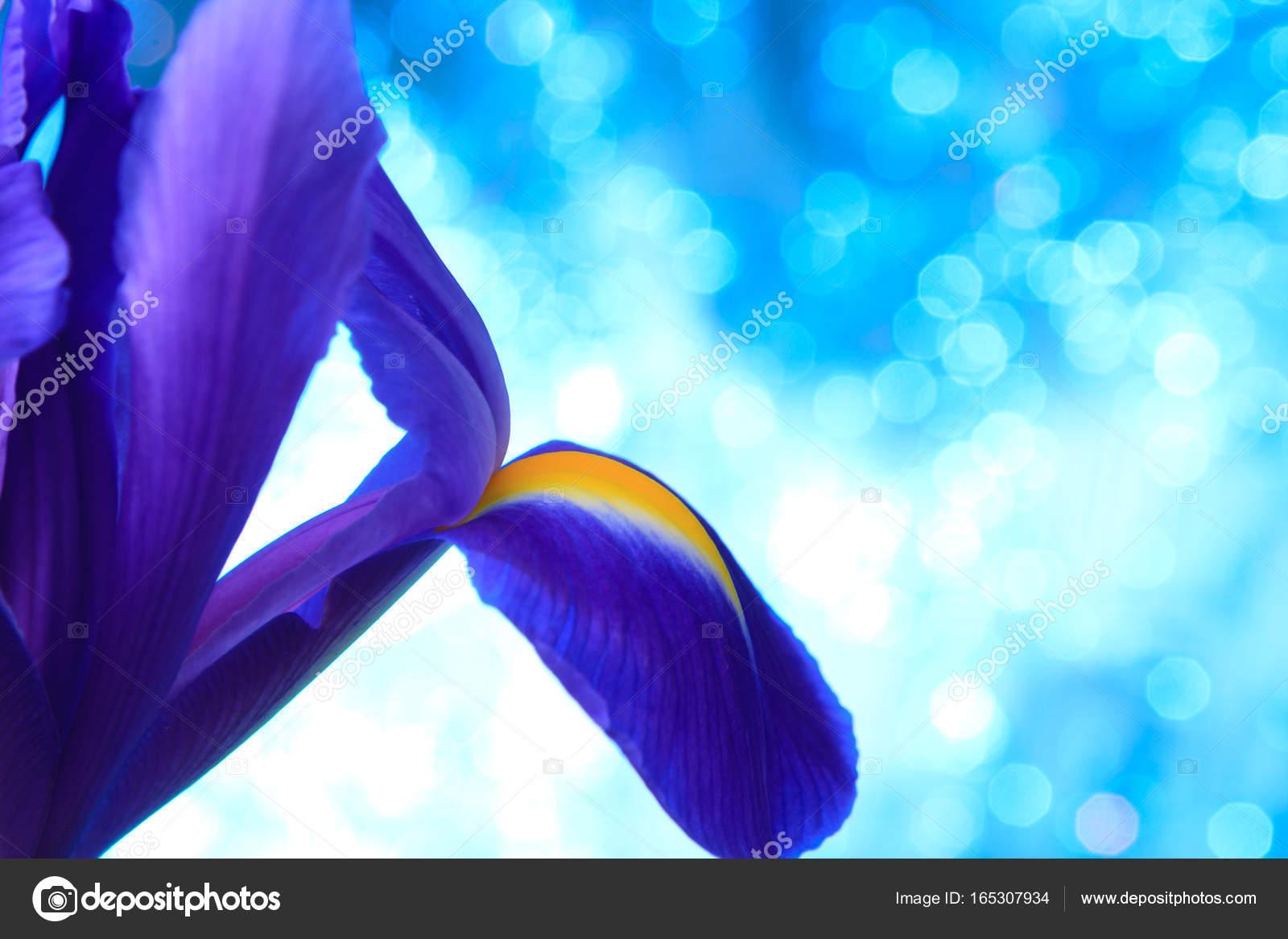 Beautiful Blue Iris Flowers Stock Photo Natika 165307934