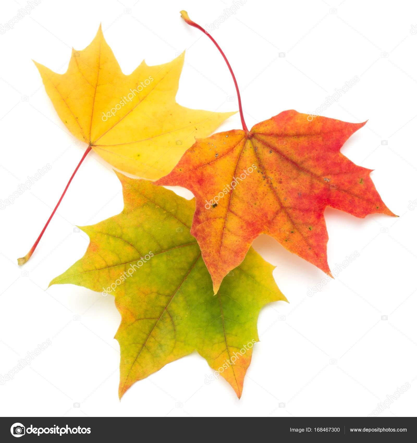 Bunte Blatter Im Herbst Ahorn Stockfoto C Natika 168467300