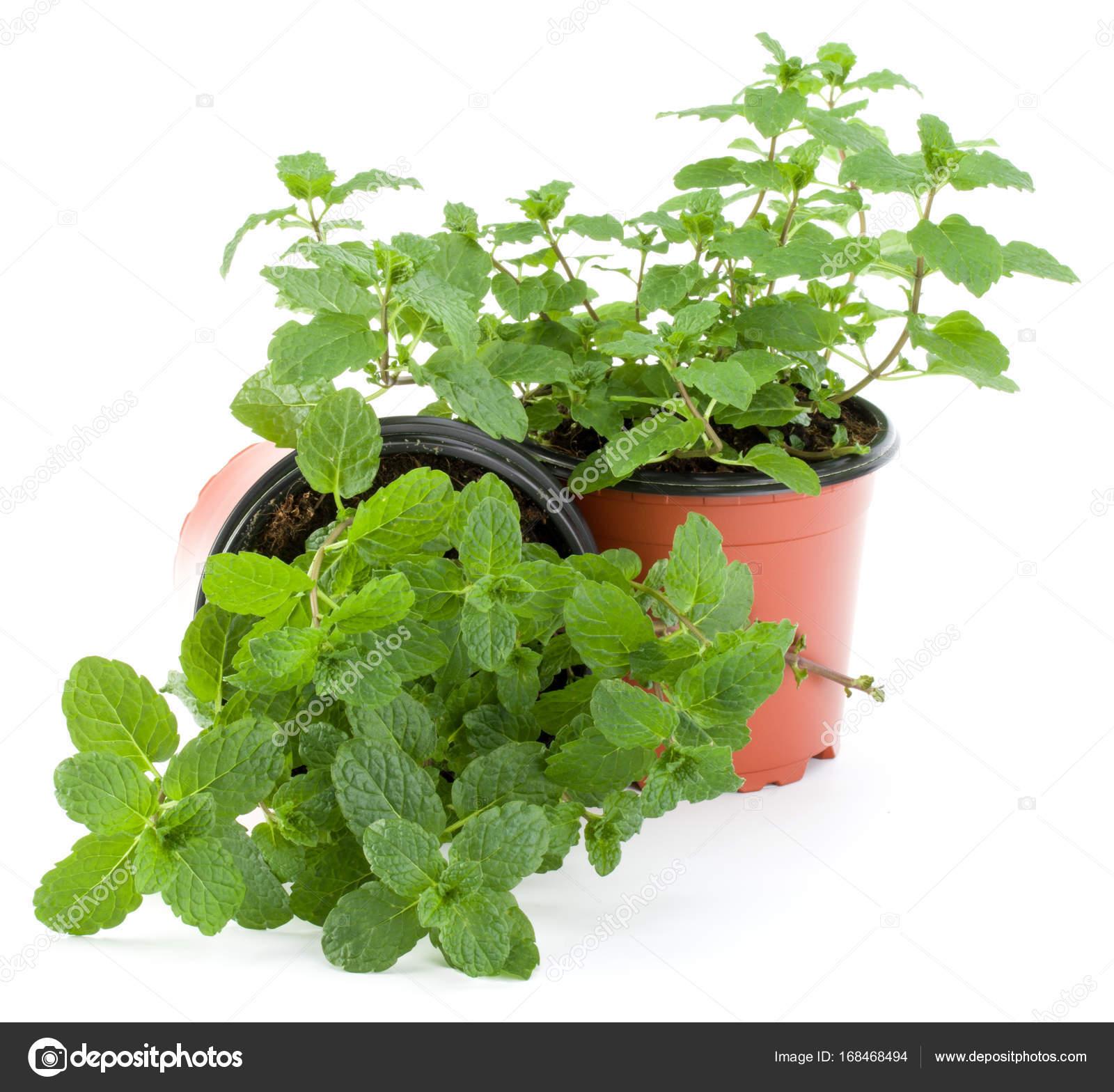 Planter Menthe En Pot peppermint herb in flowerpot — stock photo © natika #168468494