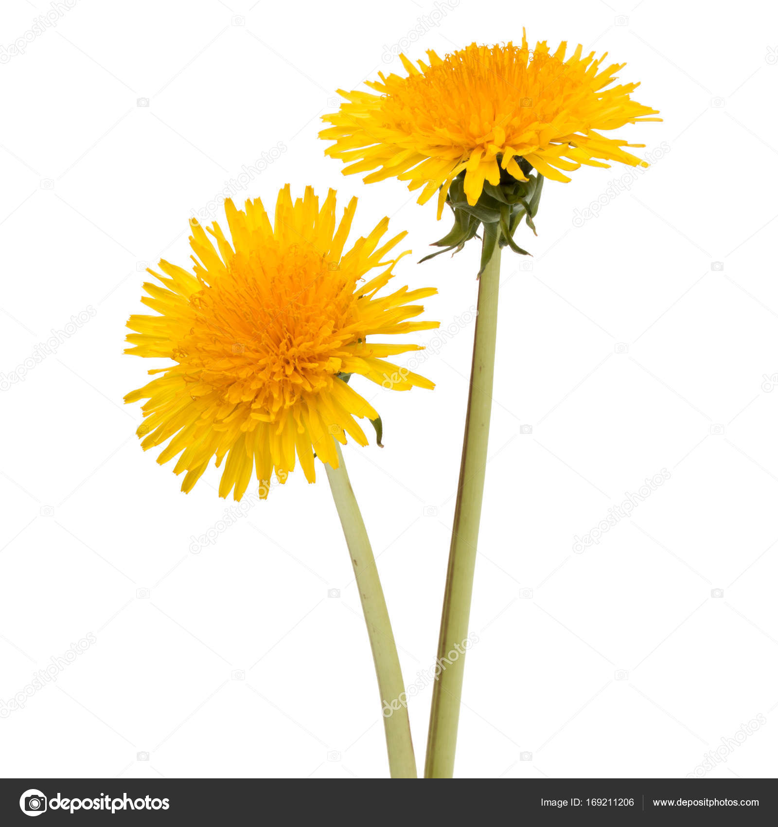 Fresh dandelion flowers stock photo natika 169211206 fresh dandelion flowers isolated on white background cutout photo by natika mightylinksfo