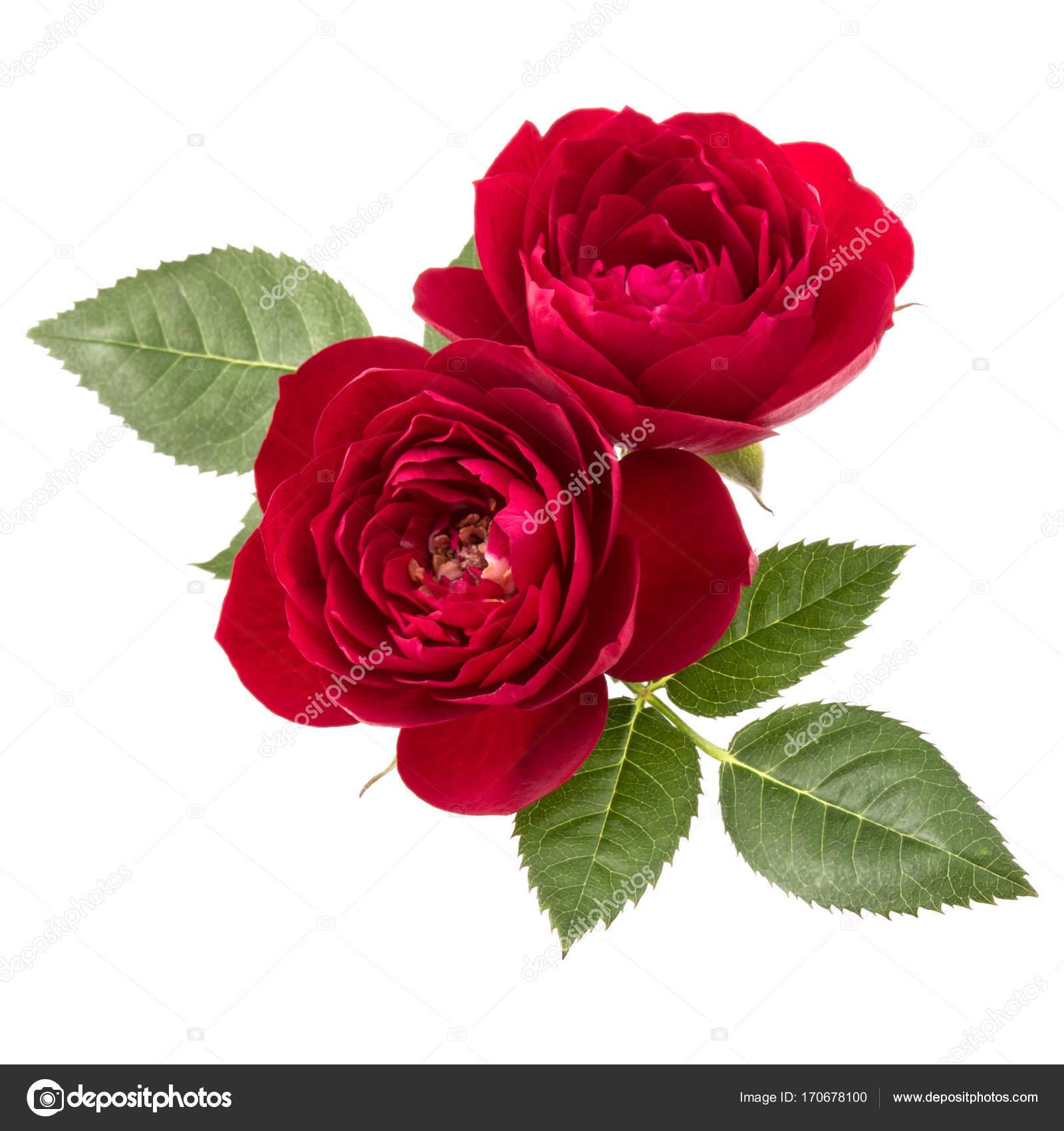 Flores Rosas Rojas Foto De Stock Natika 170678100