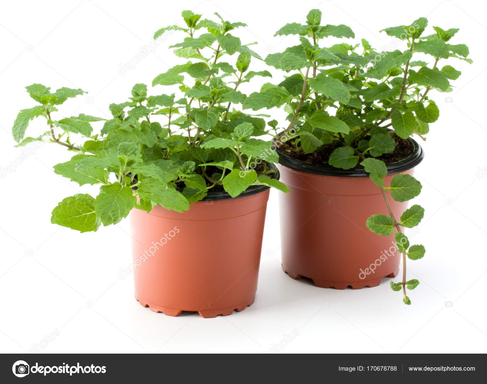Erba aromatica menta piperita crescere in vasi da fiori for Vasi erba