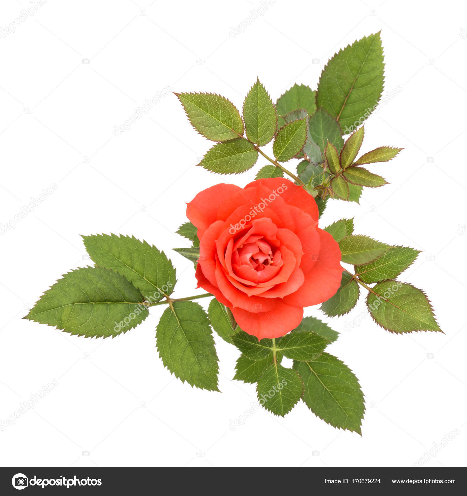 naranja flor color de rosa con hojas — Fotos de Stock © natika ...