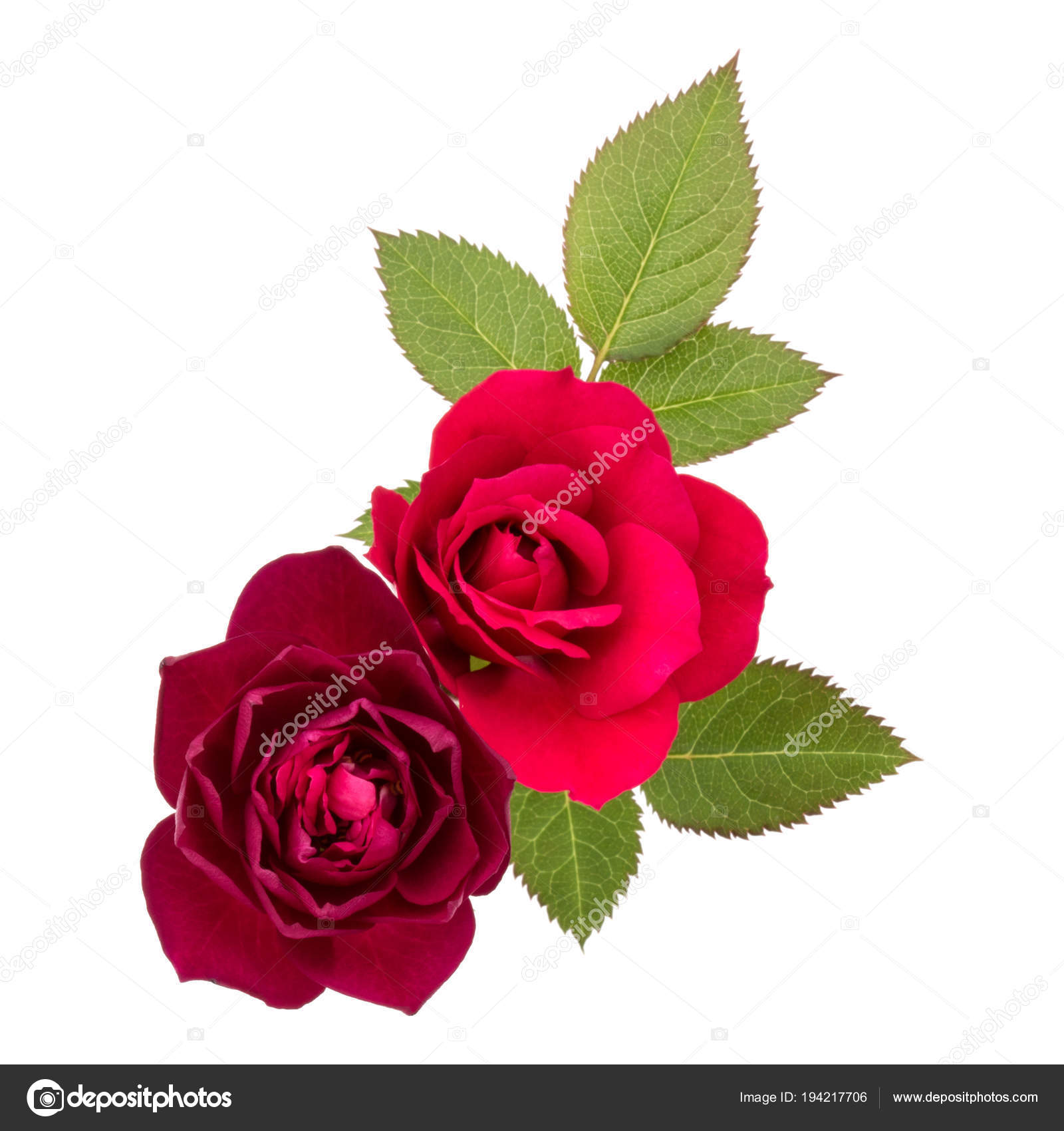Two Red Rose Flowers Leaves White Background Stock Photo Natika