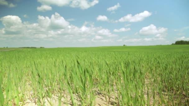 bébi kukorica a területen