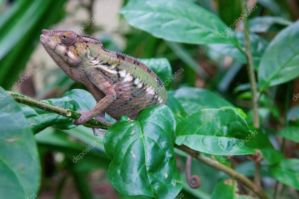 chameleon on green grass
