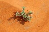 Photo Red sand Arabian desert with green plant near Riyadh, Saudi Arabia.