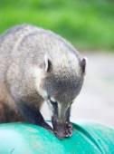 Photo Cute Coati (Nasua nasua) begging for food from tourists nearby Iguacu falls in Brazil.