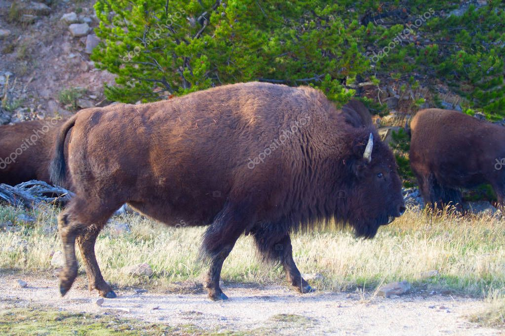 Bisons in Yellowstone national park, Wyoming, USA.