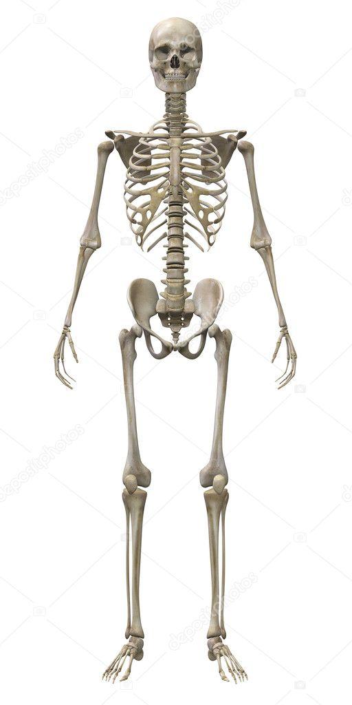 das menschliche Skelett isoliert — Stockfoto © Surovtseva #128289430