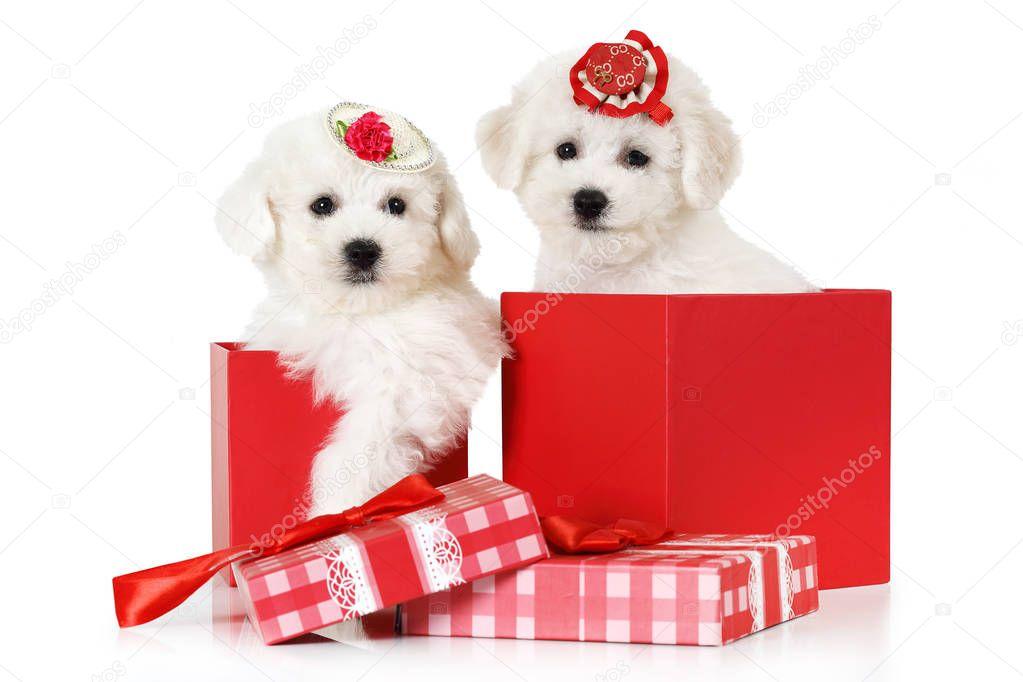 Bichon Frise puppies in a gift box — Stock Photo © alkir_dep