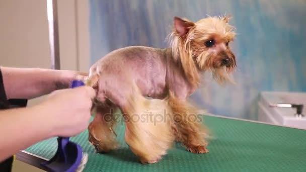Groomer Comb Yorkshire Terrier Dog Stock Video C Alkir Dep 133153696