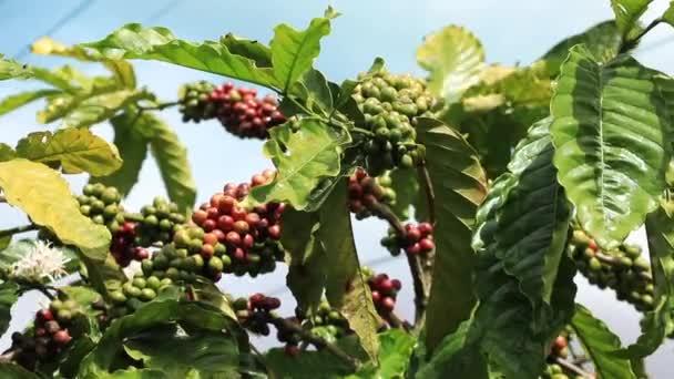 Ág kávé bogyók