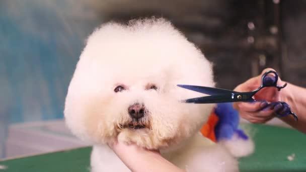 Corte de pelo para bichon frise