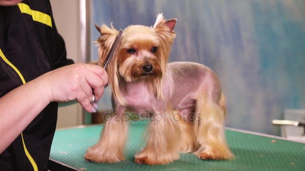 Yorkshire Terrier Dog Grooming At Pet Salon Stock Video