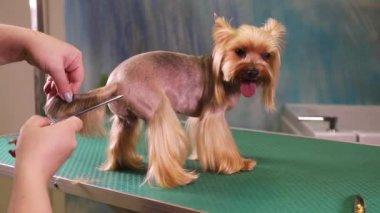 tondeuse peigne chien yorkshire terrier video 133153696. Black Bedroom Furniture Sets. Home Design Ideas