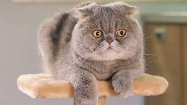 Animal portrait of Scottish Fold cat