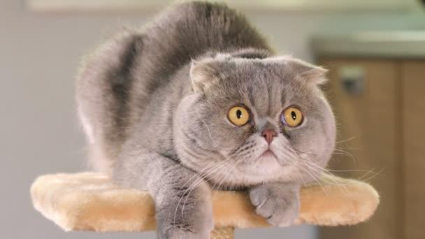 Skotská skládací kočka