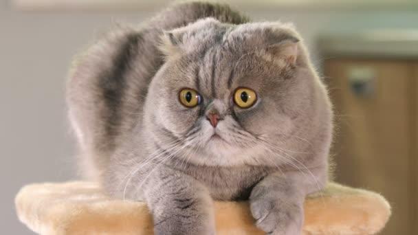 portrét skotský fold kočka
