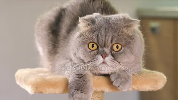 Čistokrevná šedé Scottish Fold kočka