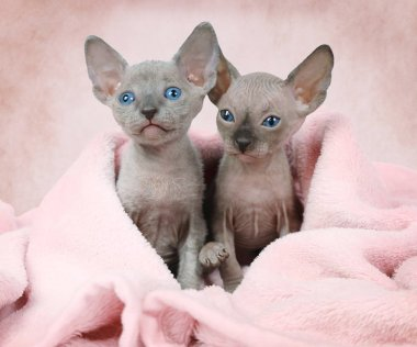Two Don Sphinx kitties in a bed