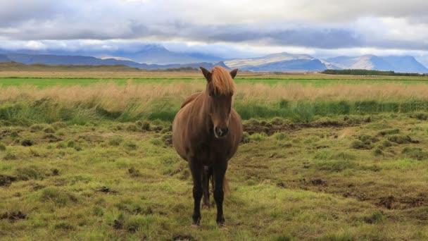 Islandští koně pasoucí se v poli