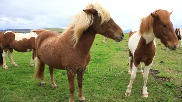 Purebred Icelandic horses grazing in the field, Iceland