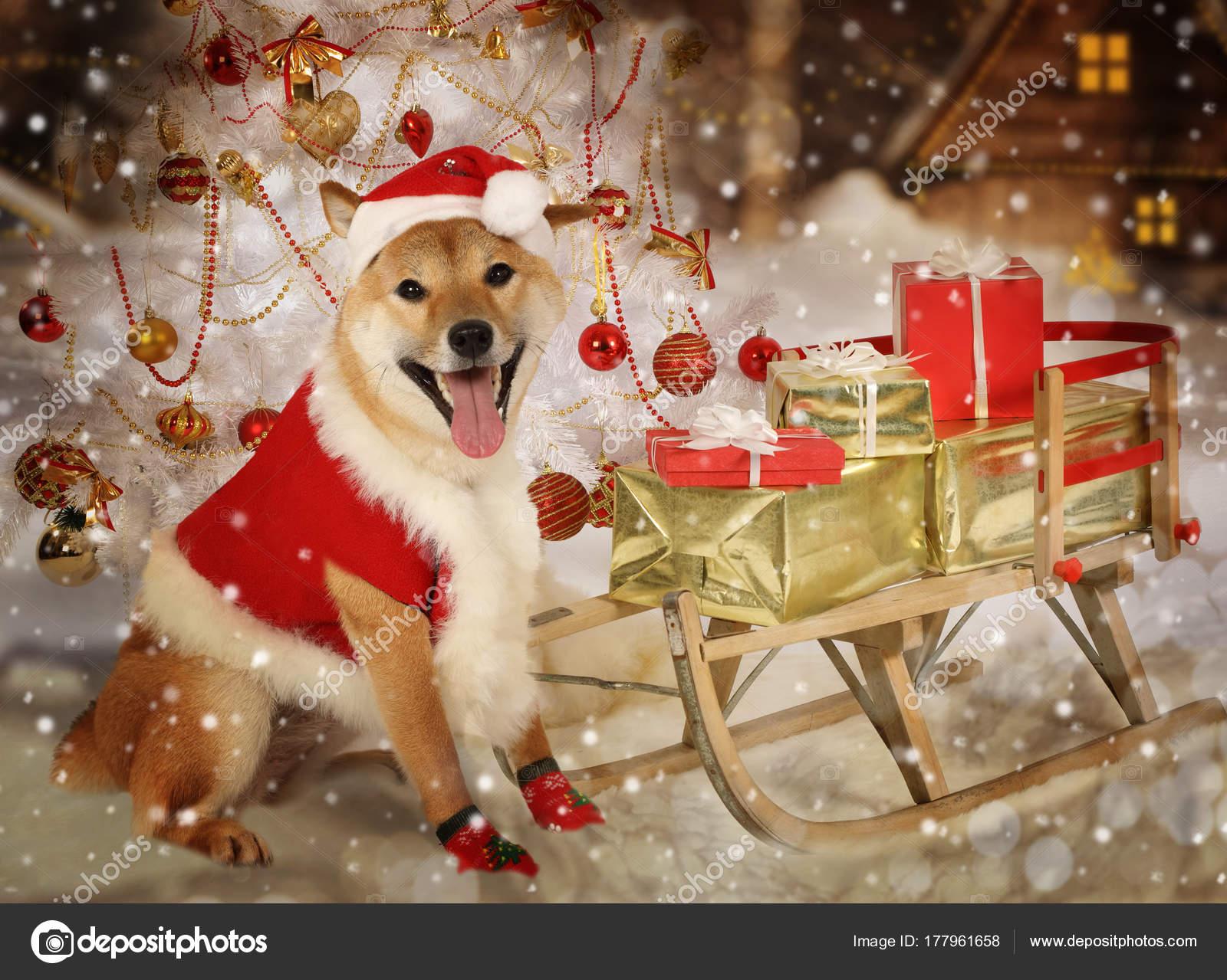 Shiba Inu Hund in Santa Kleidung — Stockfoto © alkir_dep #177961658