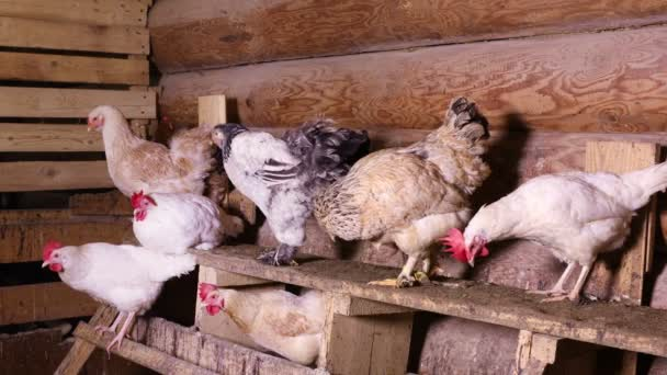 Chickens in the henhouse. Group of domestic hens sitting on a roost in the chicken coop