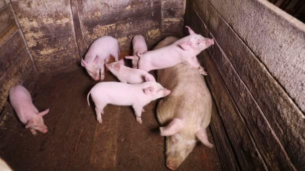 Selata jsou silně dovádění, zatímco velké svině spočívá v paddocku na venkovské farmě