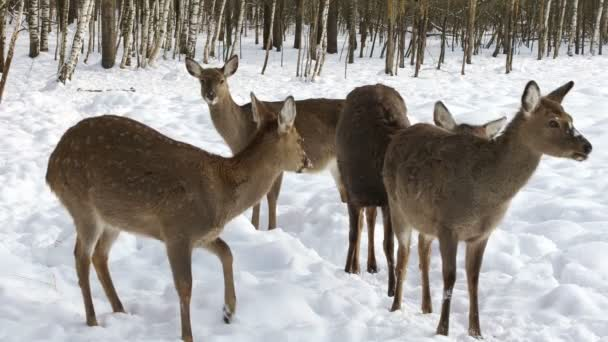 Stádo jelenů Sika vyšel zimní les při hledání potravy