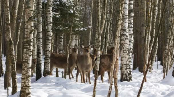 A herd of Sika deer in winter forest