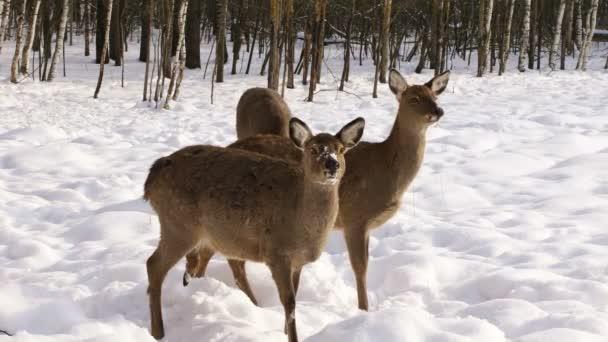 Hladový stádo jelenů Sika vyšel zimní les při hledání potravy
