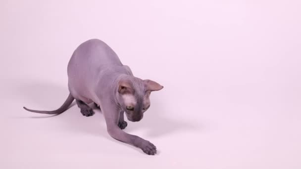 Purebred Don Sphynx cat playing with laser pointer beam on white background