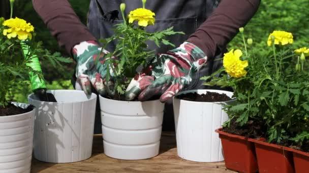 Zblízka žena nebo zahradník rukou výsadba žluté měsíčky do květináče venku