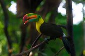Photo The colorful rainbow toucan with long beak and strange tongue