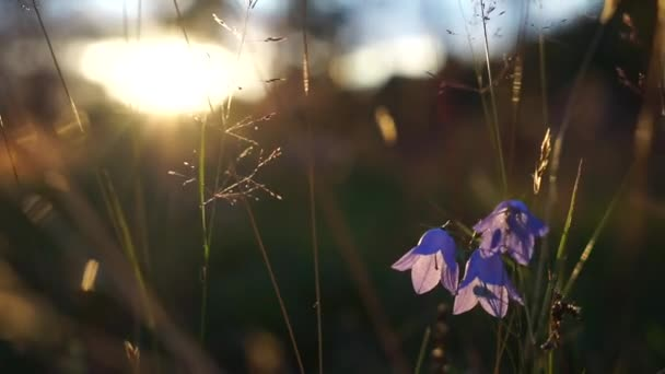 Blue Bell Flowers in the sunset. Beautiful meadow field with wildflowers close up