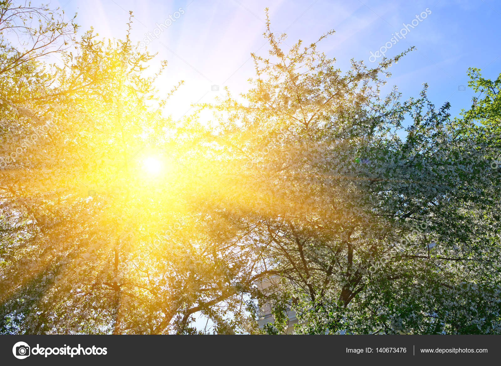 Cherry Tree Blooms And Sun In Background Of Green Branches Early