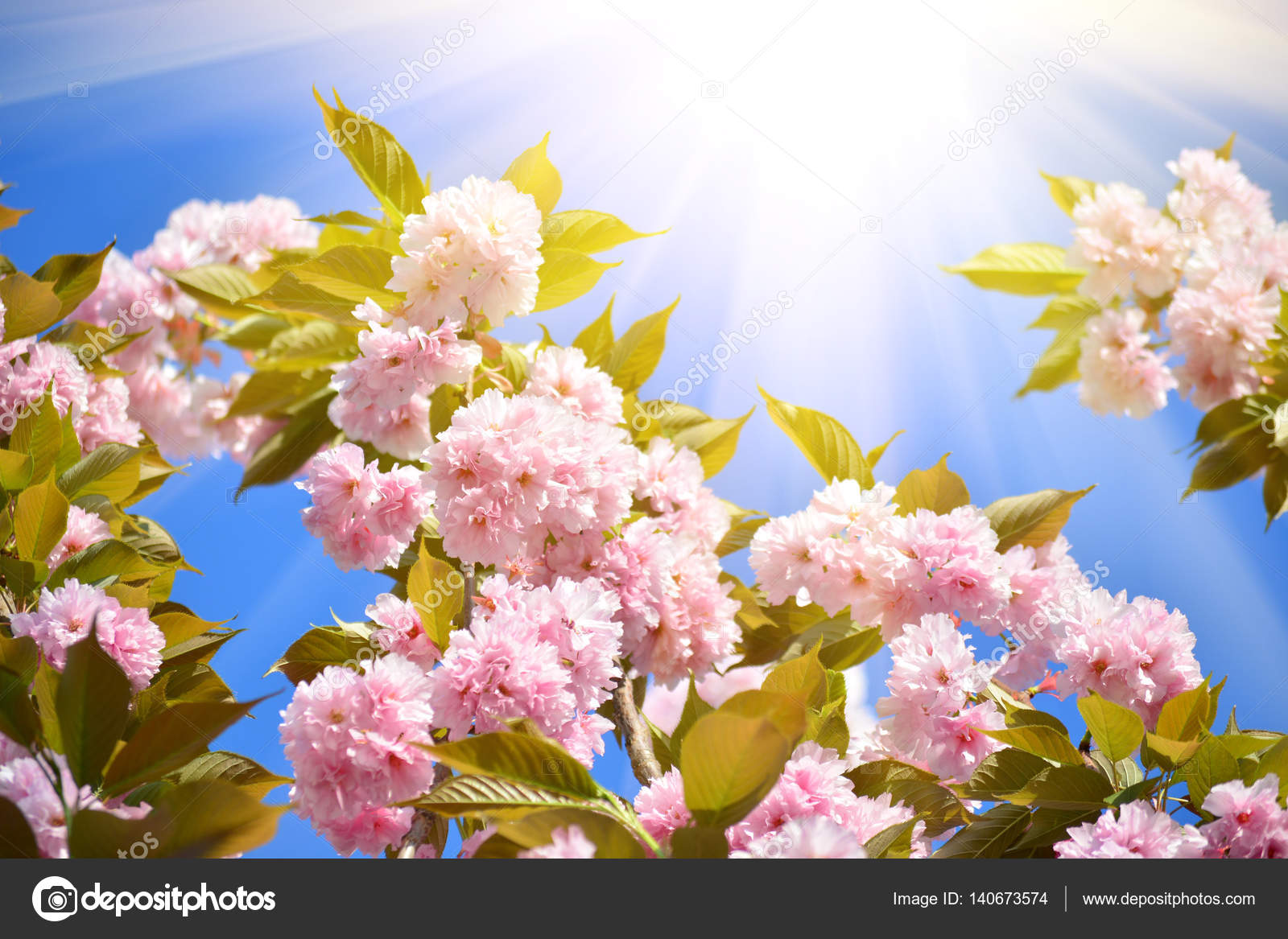 Cherry Tree Sakura Blooms In Soft Background Of Green Branches And