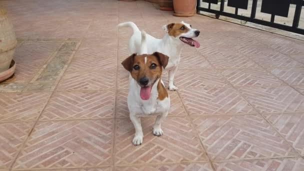Dva psi Jack Russell Terrier si rádi hrají. Psi si si spolu venku hrají